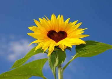 Sonnenblume Herz